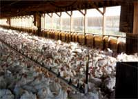 Michigan Factory Farms